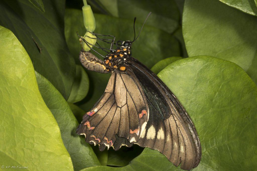 Polydamas Swallowtail (Battus polydamas) laying eggs on Pipevine. Photo K.P. McFarland