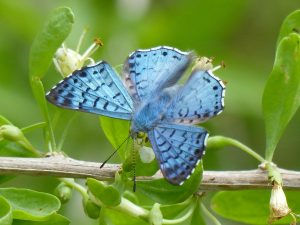 Blue Metalmark - Resaca de las   Palmas, Brownsville, Texas, Nov.6, 2015
