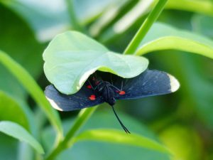 Red-bordered Pixie - Indian Ridge   B&B, Mission, Texas, Oct. 28, 2015