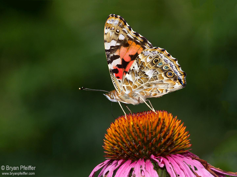 Butterfly Gallery: EButterfly